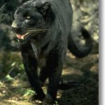 Black Panther Sighted!