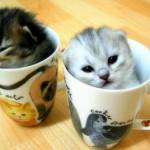 Kittens in Teacups
