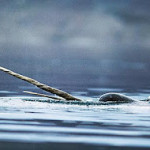 Narwhals Ride the Big Waves (dude)